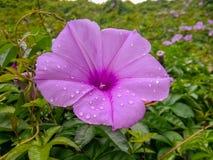 Sulla collina, il bordo della strada, l'ipomea dopo pioggia Fotografie Stock Libere da Diritti