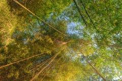 Sulla vista dalla terra dei tronchi di albero di bambù verdi e gialli e della liana d'attaccatura immagini stock
