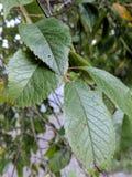 Sulle foglie vicine del susino Fotografie Stock Libere da Diritti