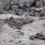Sulle formiche vicine Fotografia Stock