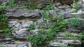 Sulle pietre coltivi i fiordalisi dei fiori archivi video