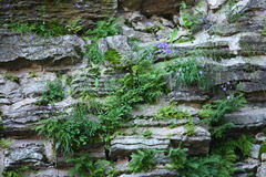 Sulle pietre coltivi i fiordalisi dei fiori Fotografia Stock Libera da Diritti