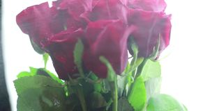Sulle rose rosse spruzzate innaffi su un fondo bianco archivi video