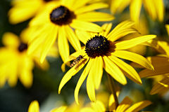Sullivantii das variedades do fulgida do Rudbeckia Imagem de Stock Royalty Free