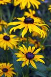 Sullivantii ?Goldsturm? das variedades do fulgida do Rudbeckia   Imagem de Stock Royalty Free