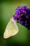 Sulpher butterfly on purple flower Royalty Free Stock Photo