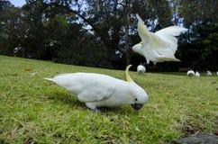 Sulpher Crested cacatuas em Sydney Botanical Gardens Imagem de Stock