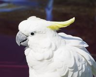 Sulpher Crested Cockatoo With White plumage. Cockatoo with white plumage against a dark background Royalty Free Stock Photo