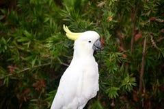 Cockatoo stockfotos