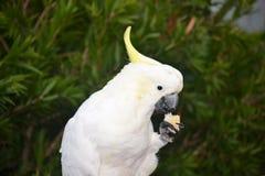 Kakadu Fotografia Royalty Free