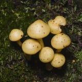 Sulphur вихор, fasciculare Hypholoma, растя на старом деревянном макросе, селективный фокус, отмелый DOF Стоковые Фотографии RF
