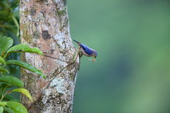 Sulphur-billed Nuthatch. (Sitta oenochlamys) in Luzon, Philippines Royalty Free Stock Photo