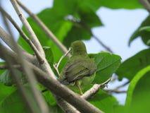 Sulphur-breasted Warbler. Phylloscopus ricketti Stock Photos