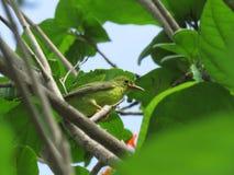 Sulphur-breasted Warbler. Phylloscopus ricketti Stock Image