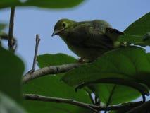 Sulphur-breasted Warbler. Phylloscopus ricketti Royalty Free Stock Photos