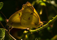 Sulphur butterflies mating Royalty Free Stock Photography