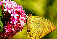 Sulphur Butterfly. The male butterfly is clear yellow above and yellow or mottled with reddish brown below and the female is lemon yellow to golden or white on Stock Image