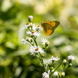 Sulphur Butterfly on a White Flower Royalty Free Stock Image