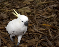 Sulphur crested cockatoo Stock Images