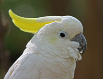 Sulphur Crested Cockatoo Royalty Free Stock Images