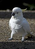 Sulphur-Crested Cockatoo. This bird is the clown of the bird group stock image
