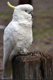 Sulphur-Crested Cockatoo. Cockatoo close up waiting for more food royalty free stock photography