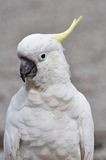Sulphur-Crested Cockatoo. They love to pose for the camera stock photo
