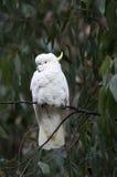 Sulphur-Crested Cockatoo. Australian Sulphur-Crested Cockatoo in gum tree stock photos