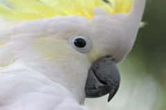 Sulphur Crested Cockatoo Royalty Free Stock Image