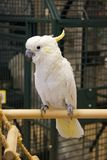 Sulphur Crested Cockatoo. Lesser Sulphur-Crested Cockatoo Standing on a Playgym in a Bird Store stock image