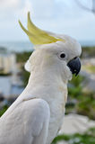 Sulphur-crested Cockatoo Royalty Free Stock Images