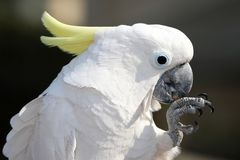 Sulphur Crested Cockatoo Stock Photography