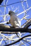 Sulphur-crested cockatoo. Portrait of white sulphur-crested cockatoo in branches of tree Stock Photography