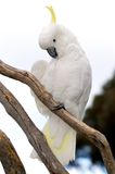 Sulphur-Crested Cockatoo. A Sulphur-Crested Cockatoo perched in a tree. This bird is indigenous to Australia royalty free stock image