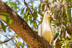 Sulphur Crested Cockatoo Royalty Free Stock Photography