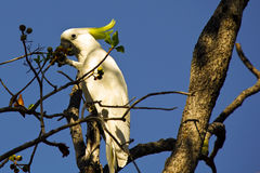 Sulphur Crested Cockatoo Royalty Free Stock Photos