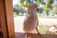 Sulphur-crested Cockatoo, Australia Royalty Free Stock Images