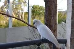 Sulphur Crested Cockatoo on Balcony Royalty Free Stock Image
