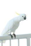 Sulphur crested cockatoo on a balcony railing Royalty Free Stock Photos