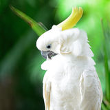 Sulphur-crested Cockatoo Royalty Free Stock Photos