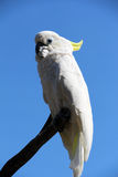 Sulphur-crested Cockatoo. On a branch Royalty Free Stock Photography