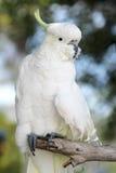 Sulphur-crested Cockatoo (Cacatua galerita) Stock Image