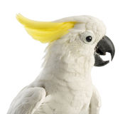 Sulphur-crested Cockatoo, Cacatua galerita, 30 years old Stock Photography