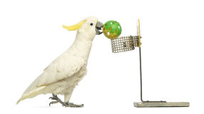 Sulphur-crested Cockatoo, Cacatua galerita, 30 years old, playing basketball, holding a ball in its beak Stock Images