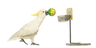Sulphur-crested Cockatoo, Cacatua galerita, 30 years old, playing basketball, holding a ball in its beak Stock Photos