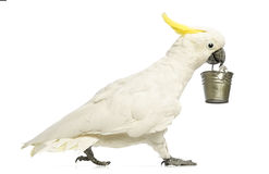 Sulphur-crested Cockatoo, Cacatua galerita, 30 years old, walking and holding a bucket in its beak. In front of white background Royalty Free Stock Photography