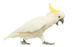 Sulphur-crested Cockatoo, Cacatua galerita, 30 years old, walking with its beak open. In front of white background Stock Image