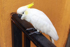 Sulphur-crested Cockatoo. Royalty Free Stock Image