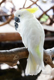 Sulphur-crested Cockatoo Stock Image
