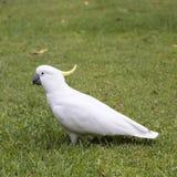 Sulphur-crested Cockatoo (Cacatua galerita).  Royalty Free Stock Photos